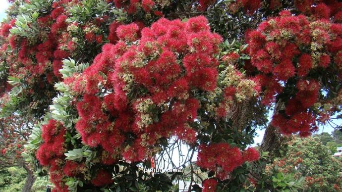 Arbre argoul - Arbres a fleurs rouges ...