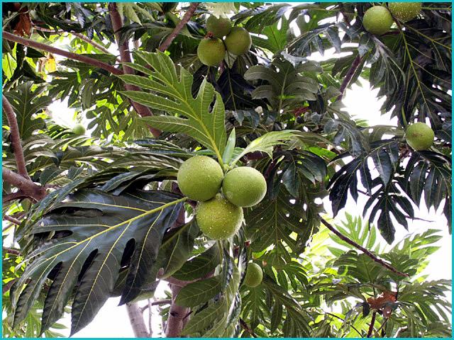 Plante argoul - Arbre murier fruit comestible ...