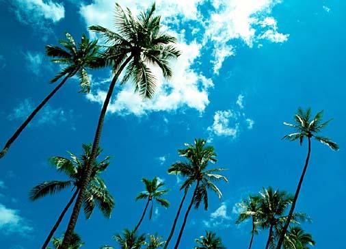 cocotiers tahiti
