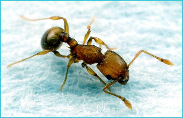 fourmi auropunctata