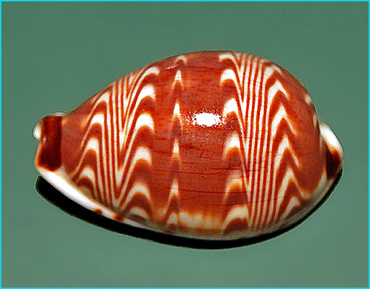 porcelaine cypraeidae