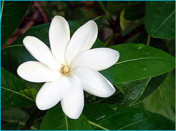 tiare fleur de tahiti