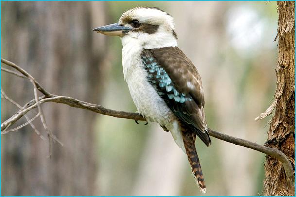 kookaburra rieur australie