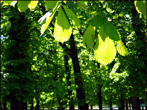feuilles de marronniers printemps