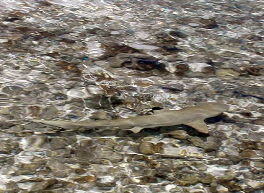 requin tuamotu a pointe noire