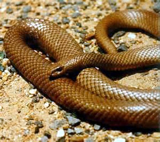 serpent brown snake australie