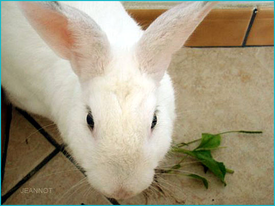 lapin jeannot