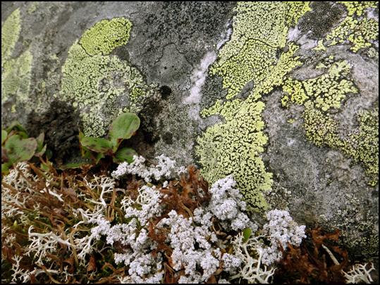 lichens Lofoten