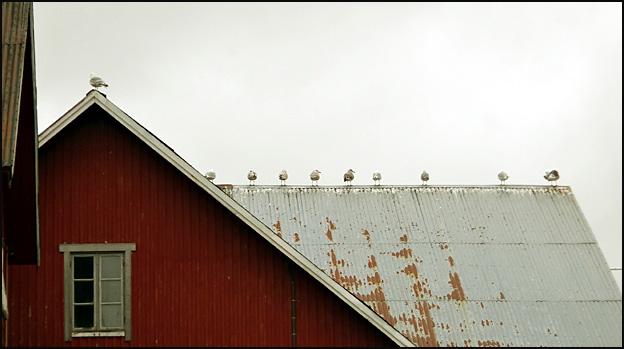 mouettes Lofoten