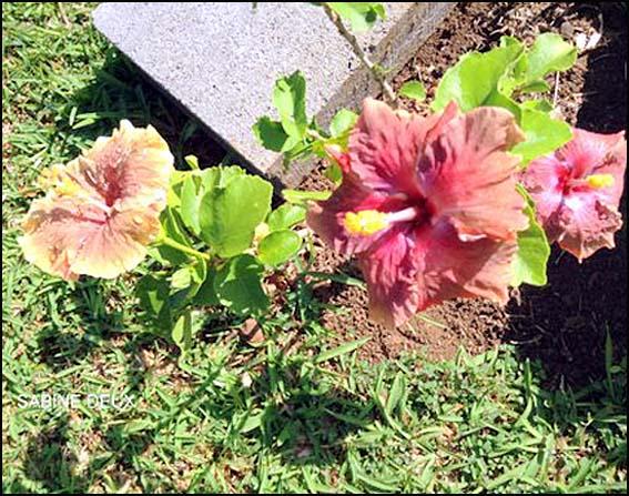 fleur rouge tahiti