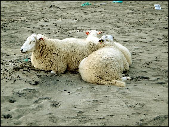plage de la baleine Lofoten moutons