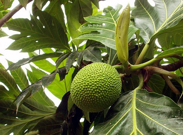 uru fruit de tahiti