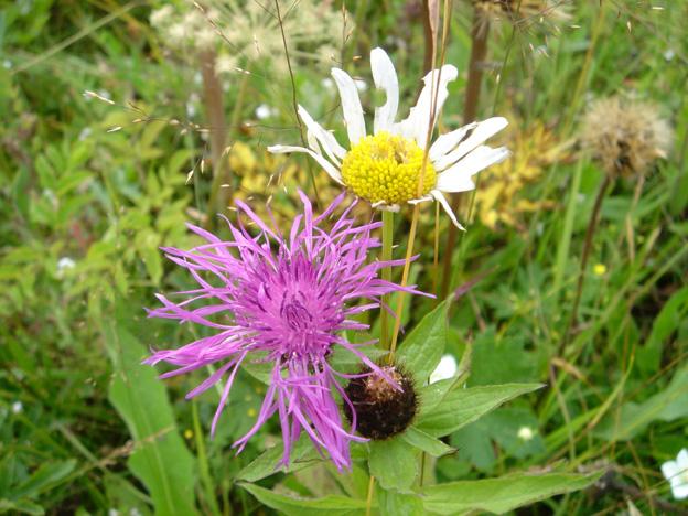 fleurs des carpates