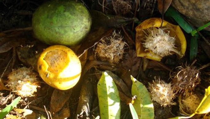 RESTES DE VÏ TAHITI APRES LE PASSAGE DES POULES