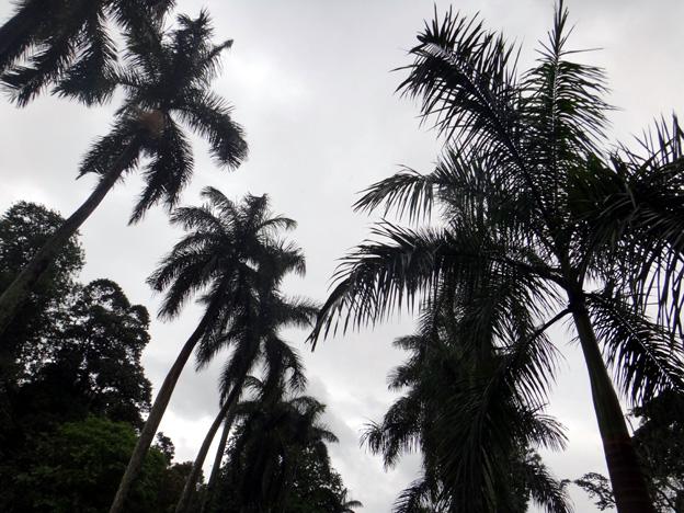 allee des palmiers Jardin botanique de Peradeniya sri lanka