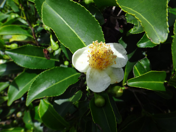 fleur du the sri lanka