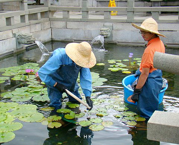 Lily datant de la Chine