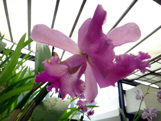 orchidee Jardin botanique de Peradeniya sri lanka