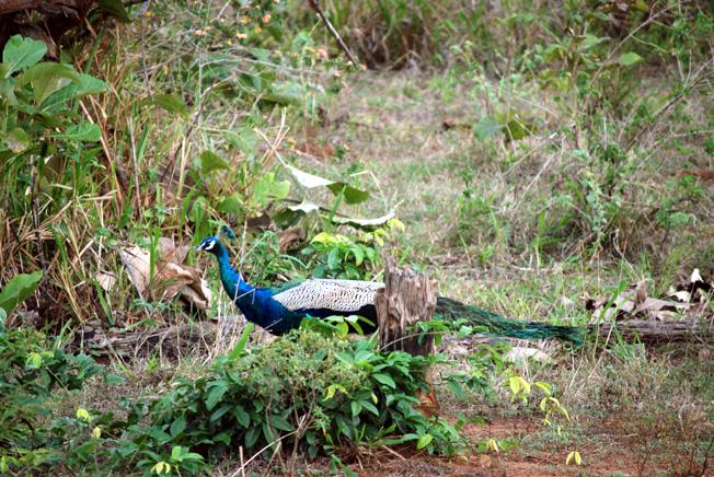 paon parc national udawalawesri lanka