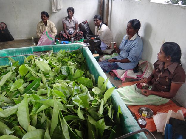 pause des cueilleuses de the idalgashina sri lanka