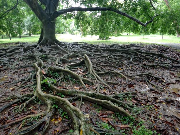 racines Jardin botanique de Peradeniya sri lanka