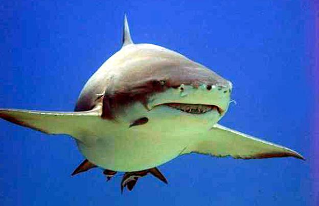 requin polynesie