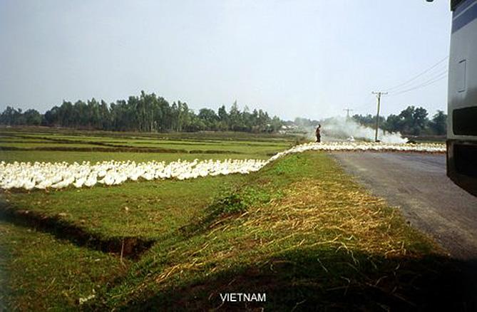 VIETNAM ATTENTION CANARDS