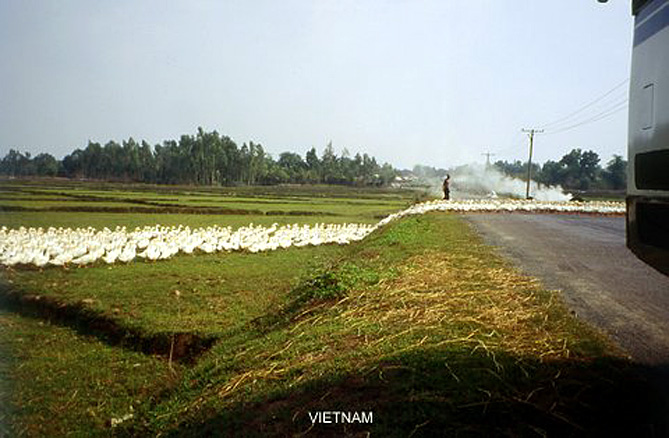 VIETNAM ATTENTION CANARDS