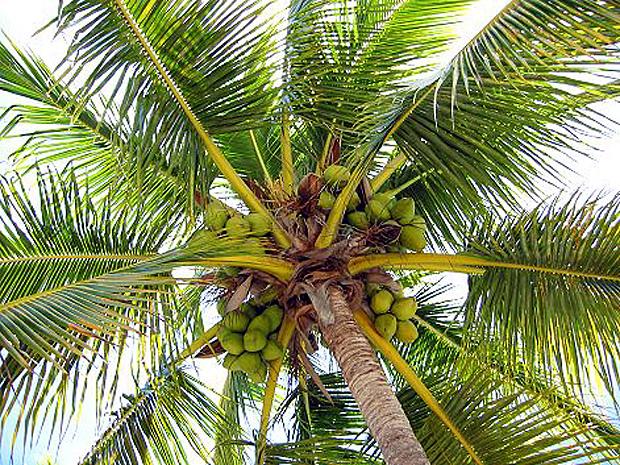 coco cocotier