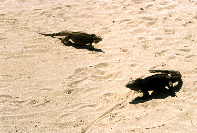 iguanes cuba