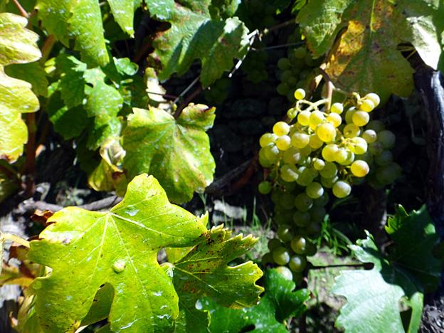 corniglia raisins du sentier