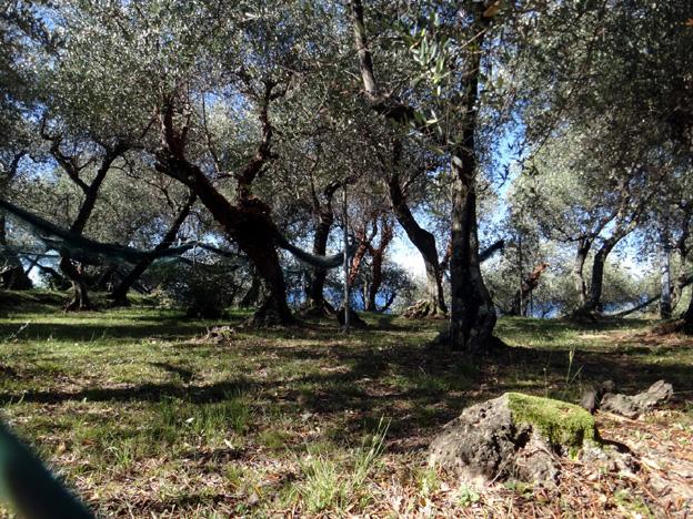sestri levante oliviers
