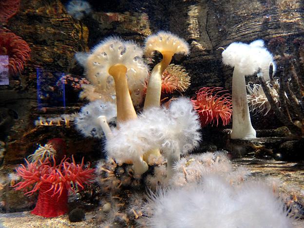 anemones brest oceanopolis