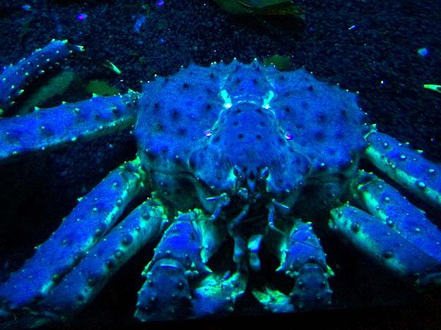 crabe geant kamchatka brest oceanopolis