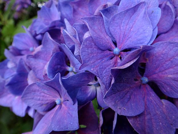 fleurs hortensia bleu