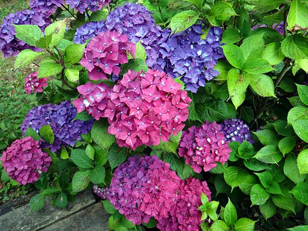 hortensias bleus et mauves