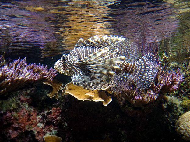 rascasse brest oceanopolis