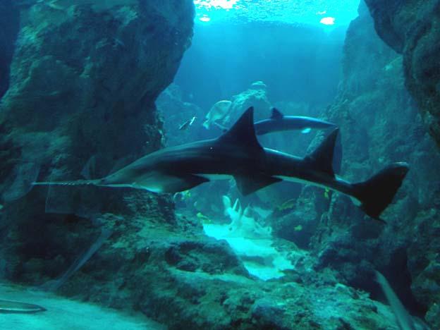 requin scie brest oceanopolis