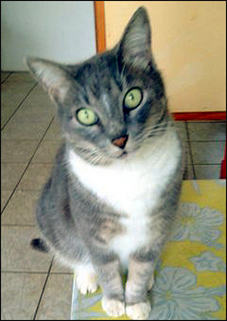 chatte grisette