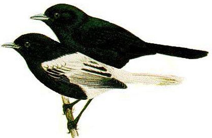 monarques oiseaux de tahiti