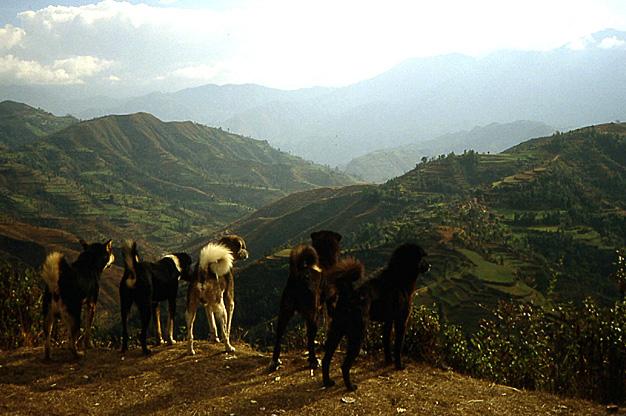 chiens du nepal