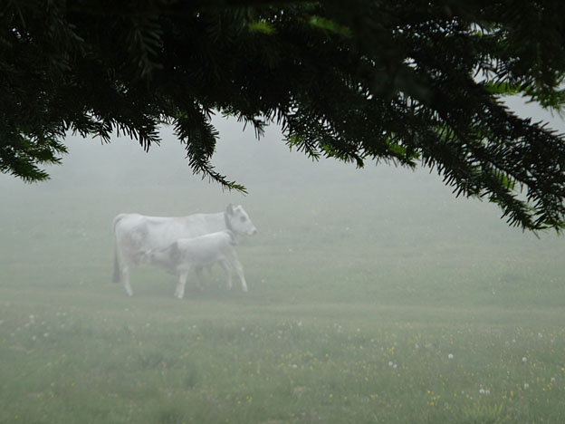 brouillard plateau de Langarail vache