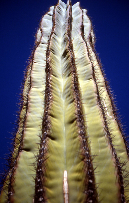 cactus cardon Basse Californie