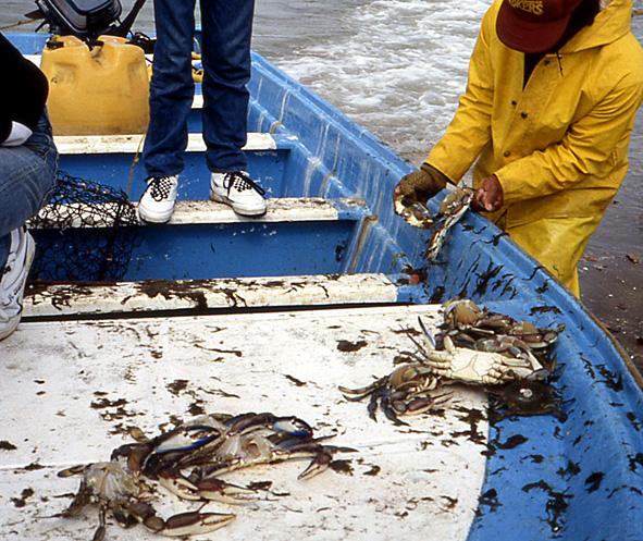 crabes bleus Basse Californie