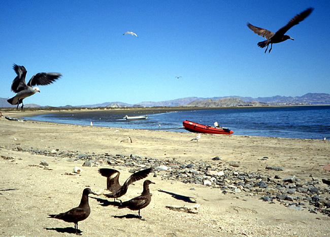 goelands Basse Californie