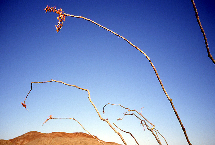 ocotillo Basse Californie