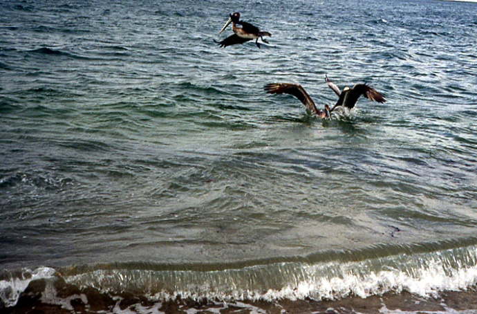 pelicans bruns Basse Californie