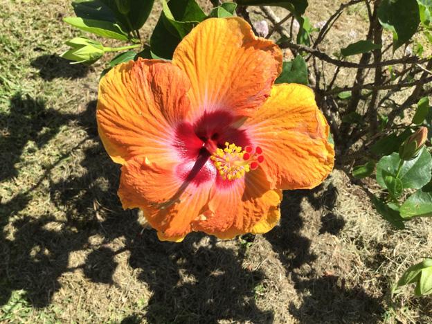 fleur tahiti