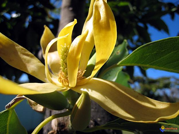 fleur ylang-ylang