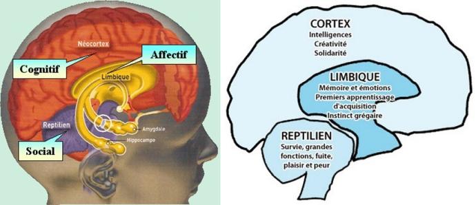 trois-cerveaux-couleur